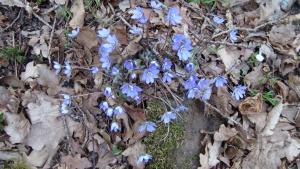 Blåsippor våren 2014